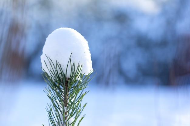 Fondo de naturaleza de invierno. rama de abeto con largas agujas bajo una gruesa capa de nieve. paisaje de invierno. escena de invierno.
