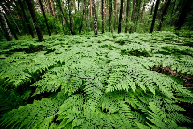 Fondo de naturaleza verde hermosa con muchos helechos en el bosque