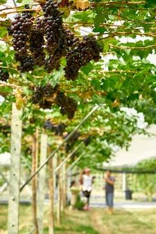 Fondo de naturaleza viñedos al aire libre al atardecer
