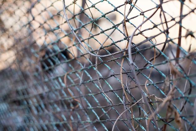 Un fondo de otoño con liana virginia enredadera en la vieja valla de jardín de metal oxidado