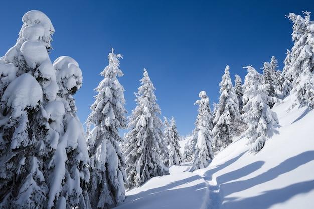 Fondo del país de las maravillas de invierno. día soleado helado en el bosque de abetos de montaña. árboles nevados y sendero en la nieve. cielo azul claro