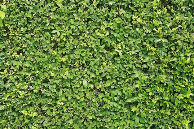 Fondo de pared de hojas verdes. textura de hoja decorativa.