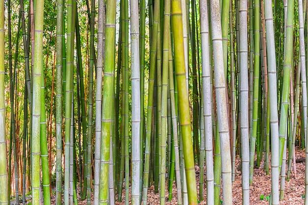 Fondo con patrón de follaje de árboles de bambú en una arboleda o bosque