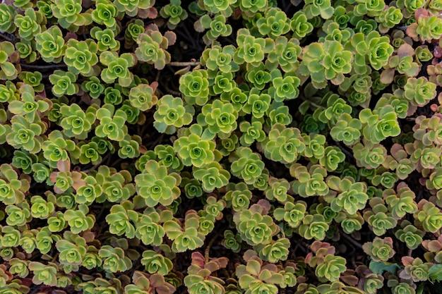 Fondo de patrón de hojas de suculentas verdes, fondo natural y fondo de pantalla