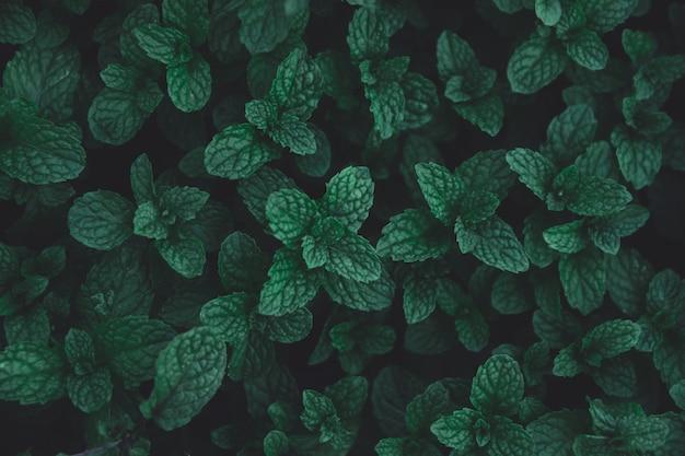 Fondo de patrón de hojas verdes. fondo de hojas de menta verde. lay flat. fondo verde oscuro del tono de la naturaleza.