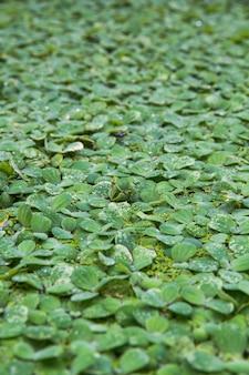 Fondo patrón verde lenteja de agua flotar en el agua