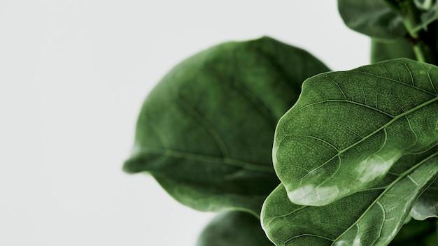 Fondo de planta de higuera de hoja de violín en gris
