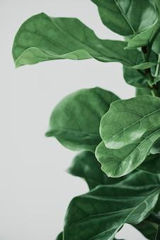 Fondo de planta de higuera de hoja de violín
