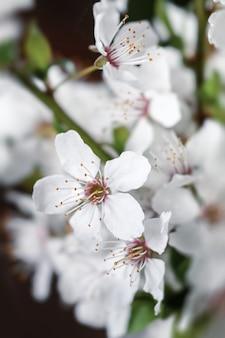 Fondo de primavera de enfoque suave. borde floral abstracto con flores blancas.
