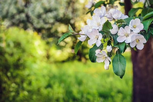 Fondo de primavera con flor de manzana