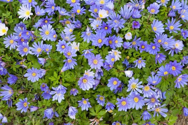 Fondo de primavera de flor de margaritas violetas