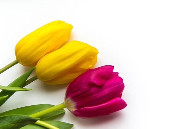 Fondo de primavera de tulipanes rosados y amarillos sobre blanco con espacio para texto