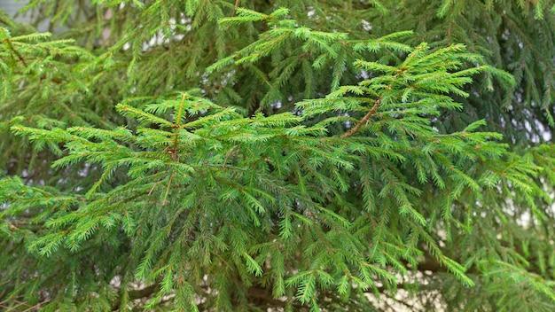 Fondo de ramas de abeto verde. árbol de navidad en la naturaleza. enfoque selectivo