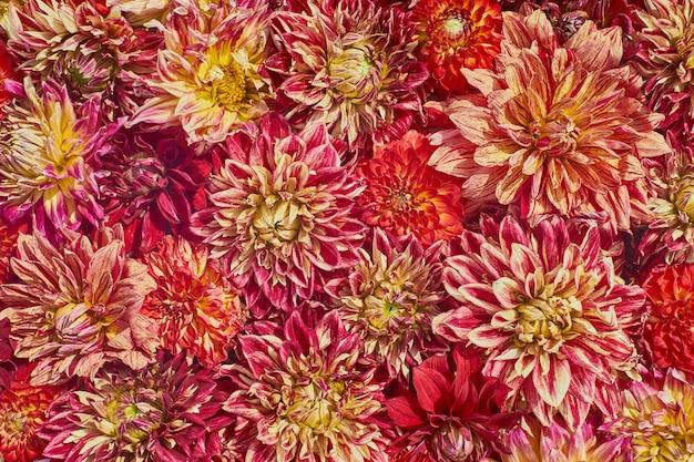Fondo rojo aster. fondo de flores tarjeta de felicitación.