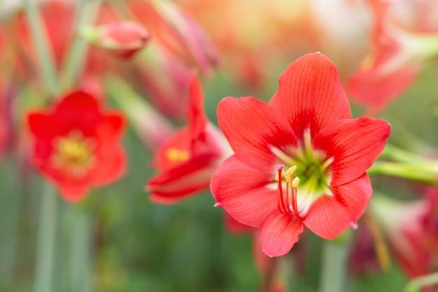 Fondo rojo de la flor.