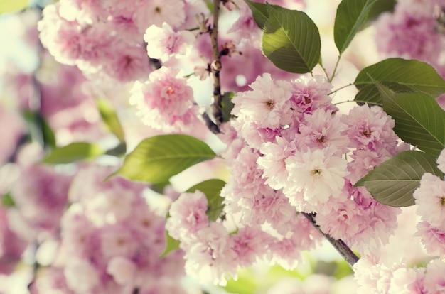 El fondo romántico de la tarjeta de la boda o de regalo con sakura florece en una primavera.