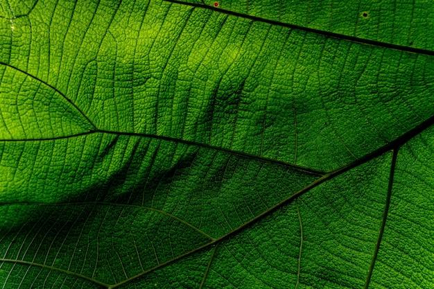 Fondo y textura, colse-up de la textura de la hoja verde de la naturaleza como fondo.