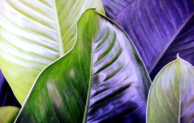 Fondo de textura de hojas azul púrpura