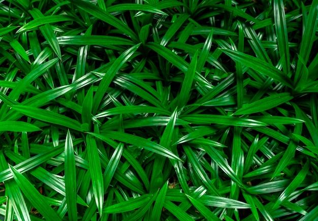 Fondo de textura de hojas de pandan primer plano