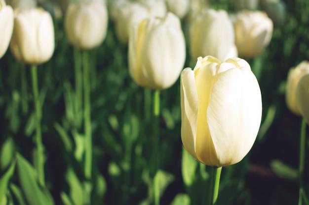 Fondo de tulipanes de colores brillantes, banner