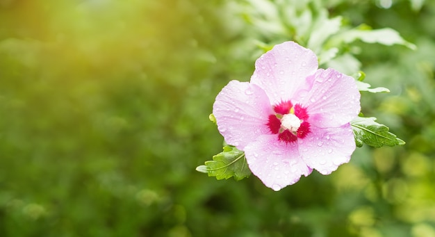 Fondo verde de flor de hibisco rosa con gotas de lluvia