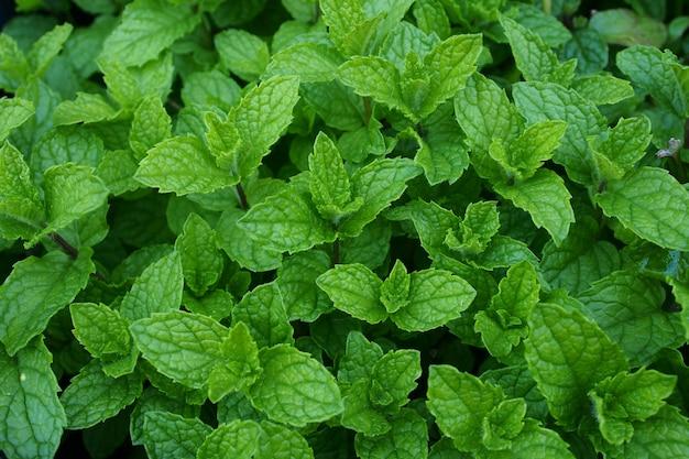Fondo verde de hojas de menta creciente