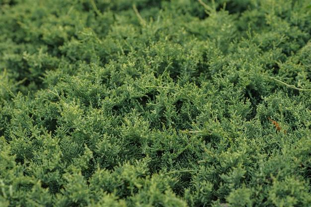 Fondo verde natural con arborvitae.