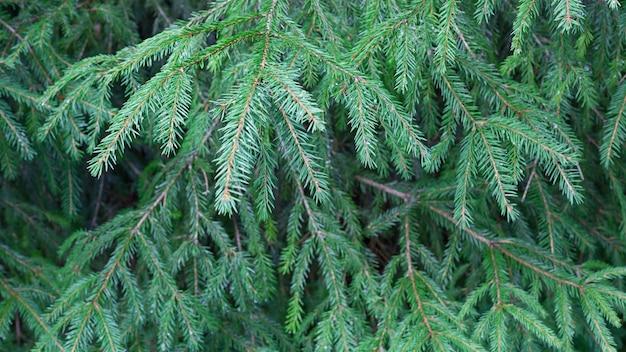 Fondo verde de ramas de abeto. arbol de navidad en la naturaleza
