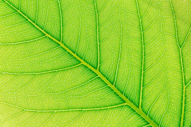 Fondo verde de la textura del modelo de la hoja con la luz detrás.