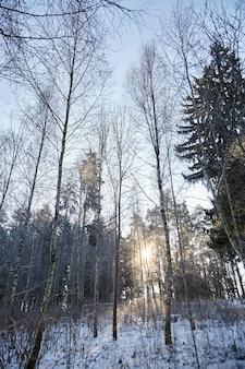 Forestand de invierno la luz del sol en el día helado