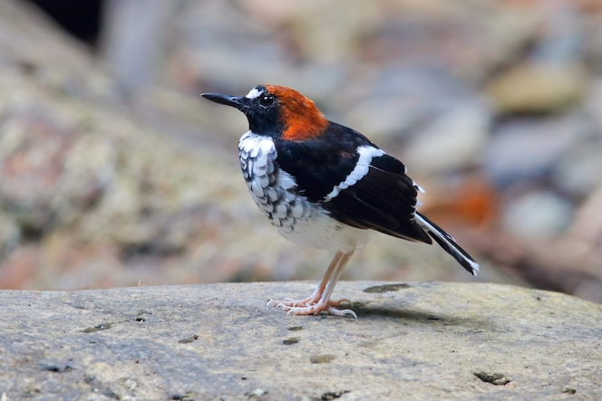 Forkic nucked enicurus ruficapillus beautiful male birds of thailand