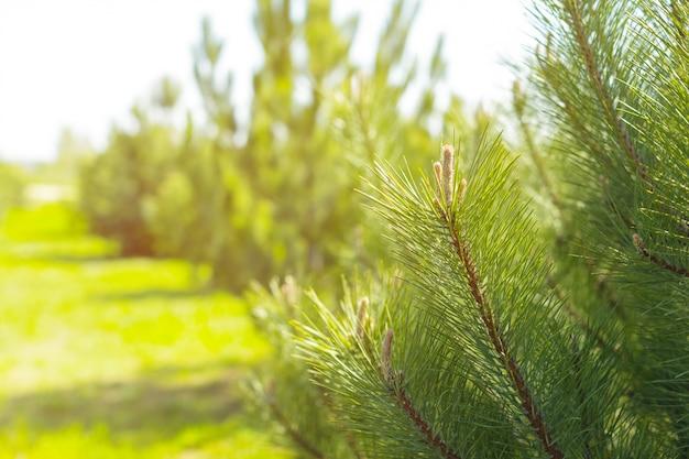 Forrest de pinos verdes como fondo