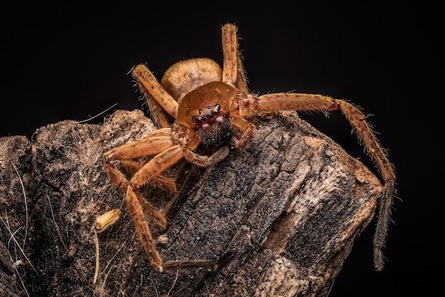 Foto de una araña lobo marrón y aterradora con ocho ojos