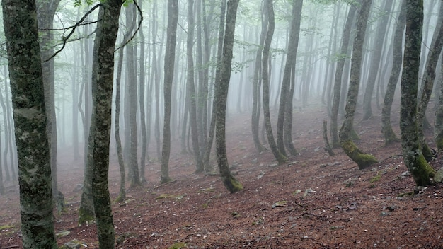 Foto de un bosque brumoso con árboles altos