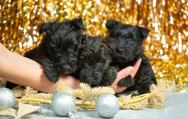 Foto de cachorros de scottish terrier en la pared de color dorado