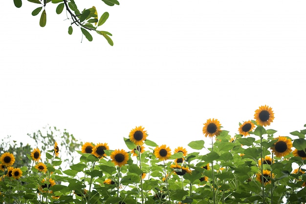 Foto de campo de girasol.