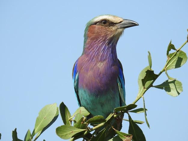 Foto de un colorido rodillo de pecho lila sentado en una rama verde durante el día