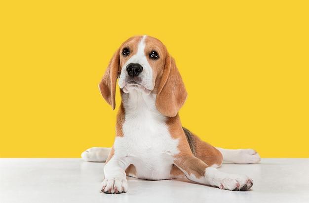 Foto de estudio de cachorro beagle en pared amarilla