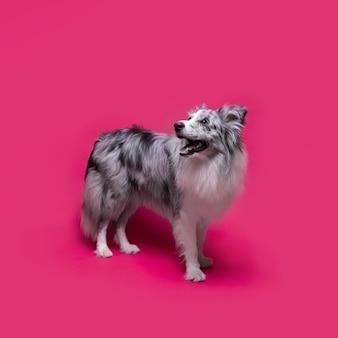 Foto de estudio de lindo perro border collie