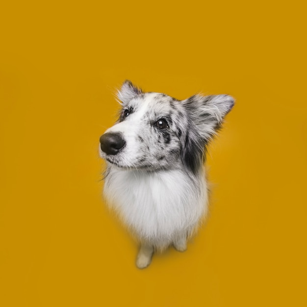 Foto de estudio de lindo perro border collie