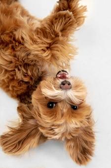 Foto de estudio de perro maltipu aislado sobre fondo blanco de estudio