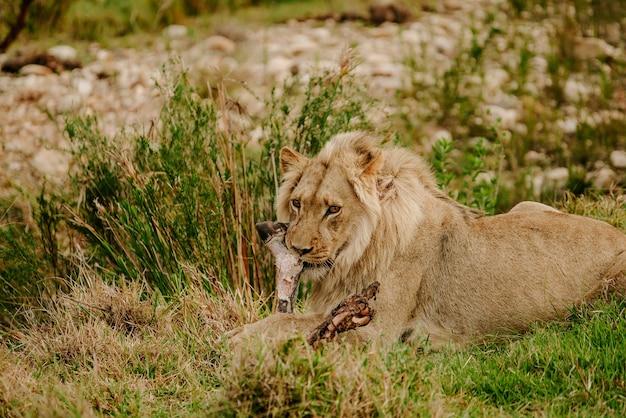 Foto fascinante de un poderoso león tumbado en la hierba y mirando hacia adelante
