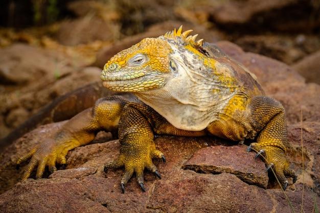 Foto de una iguana amarilla descansando sobre una roca