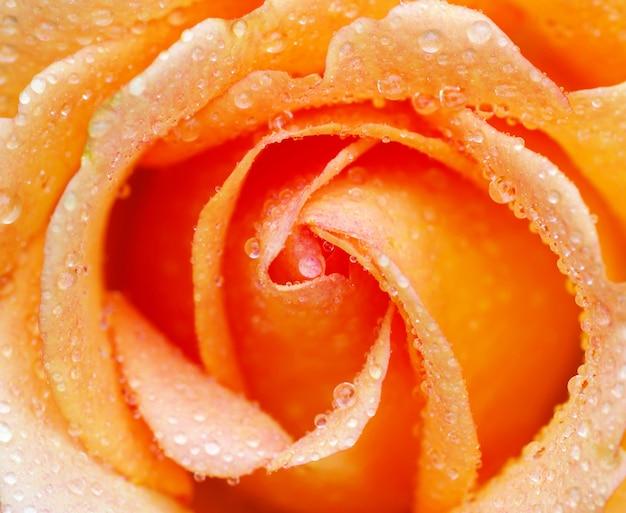 Foto macro de rosa como fondo