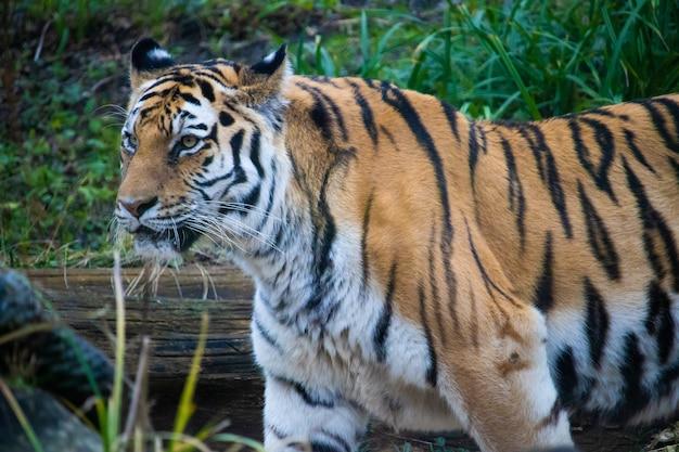 Foto de paisaje de primer plano de un tigre rayado con hierba verde