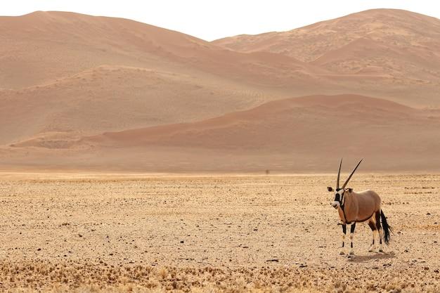 Foto panorámica de un gemsbok de pie sobre una llanura desnuda con colinas