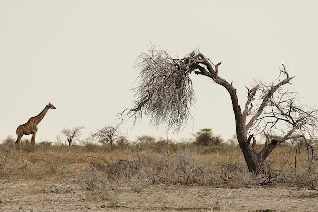 Foto panorámica de una jirafa de pie sobre llanuras cubiertas de hierba con un árbol muerto en primer plano