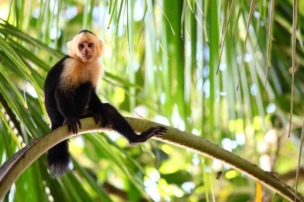 Foto panorámica de un mono capuchino sentado perezosamente en una rama de palma larga