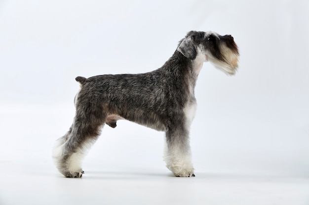 Foto de perfil de un perro de raza schnauzer terrier. foto de estudio, el fondo blanco