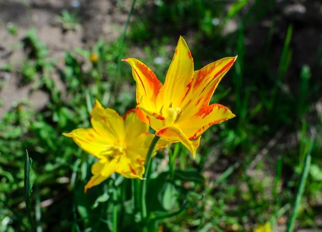 Foto de primavera de tulipán flores amarillas